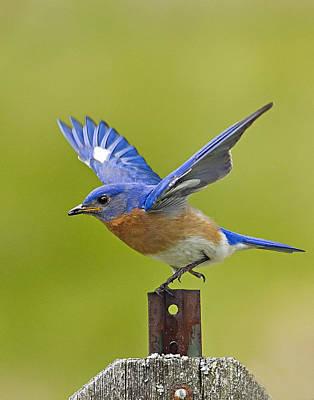 Photograph - Bluebird Posing by John Vose
