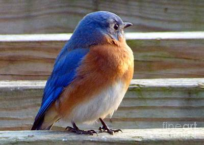 Photograph - Bluebird Profile by Jean Wright