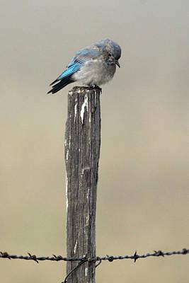 Bluebird Study A Original