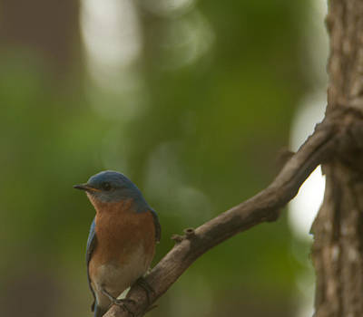 Photograph - Bluebird Watching by Sandra Clark