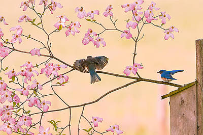 Sean Rights Managed Images - Bluebirds in Pastel Pinks Royalty-Free Image by Randall Branham