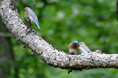 Photograph - Bluebirds In Spring by Maureen Cavanaugh Berry