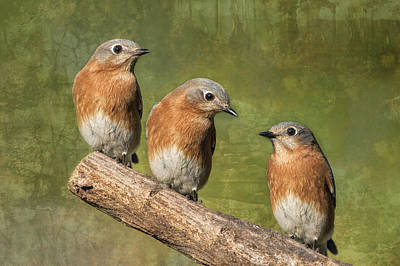 Bluebird Of Happiness Photograph - Bluebirds Times Three by Bonnie Barry