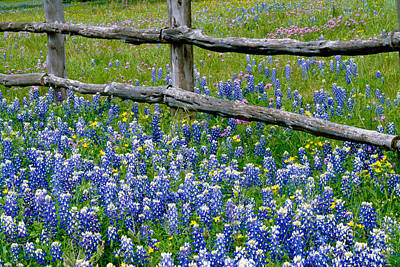 Large Group Of Objects Photograph - Bluebonnet Flowers Blooming by Panoramic Images