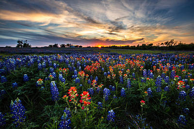 Photograph - Bluebonnet Glory by Chris Multop