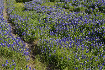 Photograph - Bluebonnet Path by Nadalyn Larsen