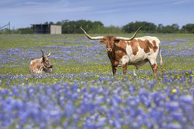 Wildflowers In Texas Photograph - Bluebonnet Pictures - Longhorns In Bluebonnets 5 by Rob Greebon