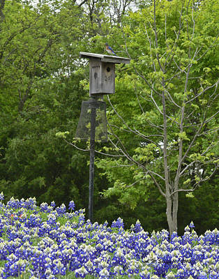 Photograph - Bluebonnets And Bluebird by Allen Sheffield