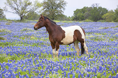Bluebonnets And Horses 3 Art Print by Rob Greebon