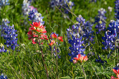 Photograph - Bluebonnets And Indian Paintbrush by Jim McCain