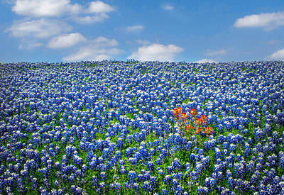 Photograph - A Patch Of Indian Paintbrushes Among The Bluebonnets by David and Carol Kelly
