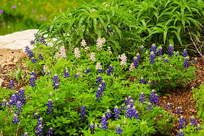 Photograph - Bluebonnets And Other Lupines by Allen Sheffield
