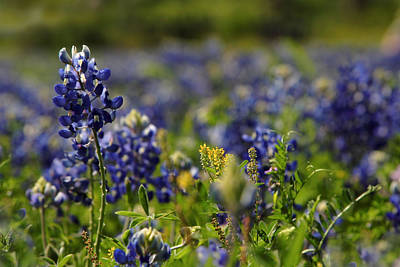 Bluebonnets In Spring Art Print by Linda Unger