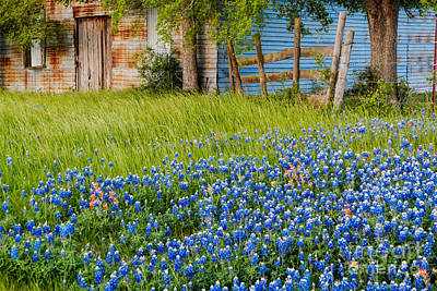 Bluebonnets Swaying Gently In The Wind - Brenham Texas Art Print