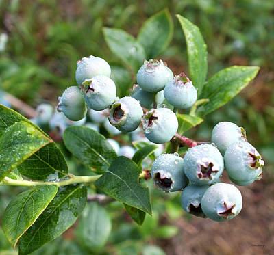 Photograph - Bluecrop Blueberries by Duane McCullough