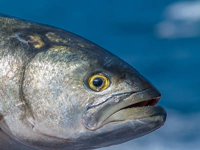 Photograph - Bluefish by Jim DeLillo