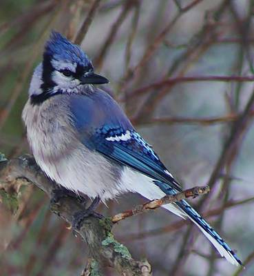 Photograph - Bluejay by Bruce Bley