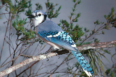 Bluejay Photograph - Bluejay Calling by John S. Dunning