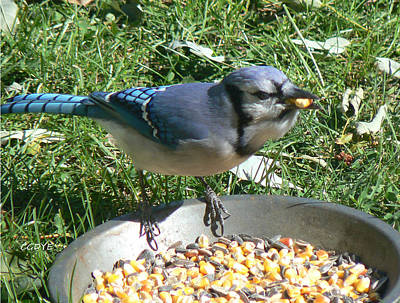 Bluejay Mixed Media - Bluejay Feeding by Connie Dye