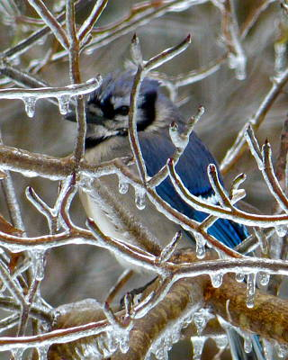 Photograph - Bluejay In Ice Palace by Jean Wright