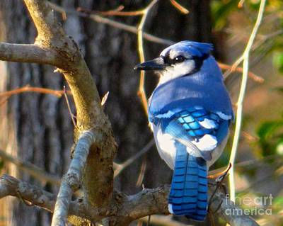 Photograph - Bluejay In Morning Light by Jean Wright