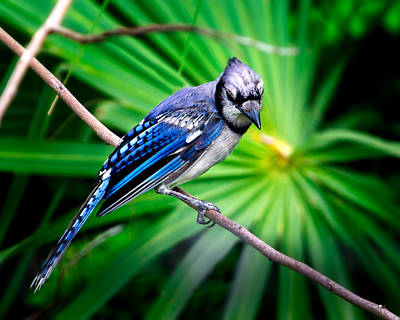 Bluejay Photograph - Thoughtful Bluejay by Mark Andrew Thomas