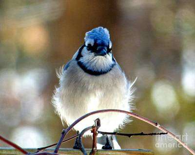 Photograph - Bluejay Pompadour by Jean Wright