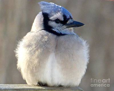 Photograph - Bluejay Profile by Jean Wright