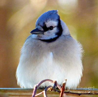 Photograph - Bluejay Puffball by Jean Wright