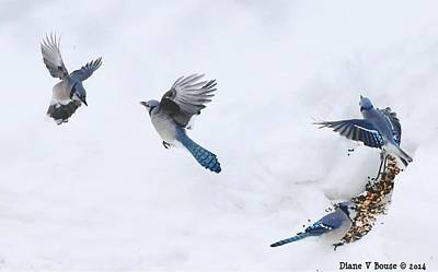 Bluejay Digital Art - Blue Jays Forming A Line by Diane V Bouse
