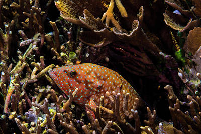Peacock Grouper Wall Art - Photograph - Bluespotted Grouper In Reef In Raja by Jennifor Idol