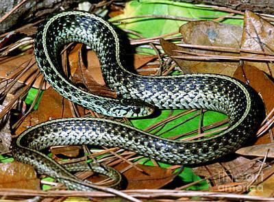 Garter Snake Photograph - Bluestripe Garter Snake by Millard H. Sharp