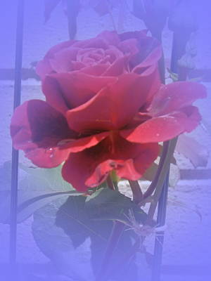 Photograph - Bluesy Rose by Valerie Bruno