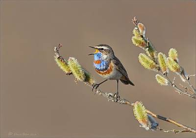 Bluethroat Art Print