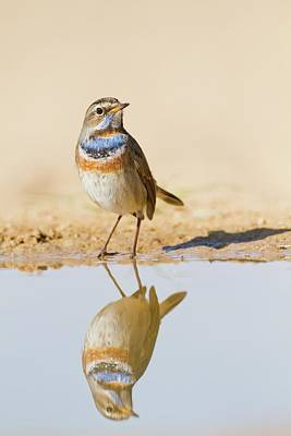 Bird Watching Photograph - Bluethroat (luscinia Svecica) by Photostock-israel