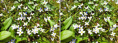 Photograph - Bluets In Stereo by Duane McCullough