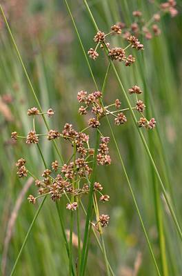 Norfolk Wall Art - Photograph - Blunt-flowered Rush (juncus Subnodulosus) In Flower by Bob Gibbons/science Photo Library