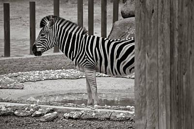 Zebra Mixed Media - Blurred Lines by Trish Tritz