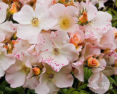 Photograph - Blush Bouquet by Chuck Flewelling