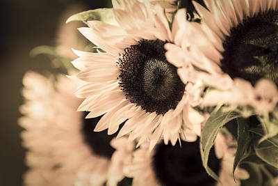 Sunflowers Royalty-Free and Rights-Managed Images - Blush by Caitlyn  Grasso