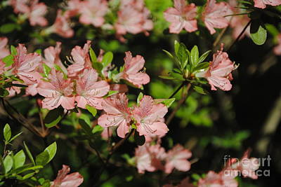 Photograph - Blush Pink by Jacqueline M Lewis