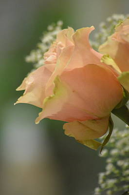 Photograph - Blush Rose by Deprise Brescia