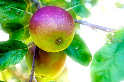 Photograph - Blushed Apple by Adria Trail