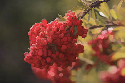 Photograph - Blushing Berries by Kandy Hurley