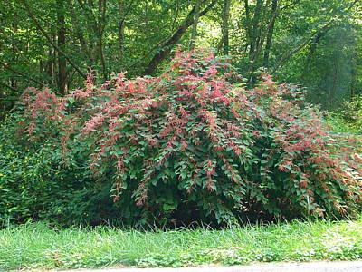 Photograph - Blushing Bush by Lew Davis