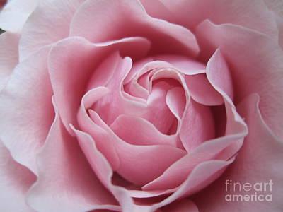 Lavender Drawing - Blushing Lavender Rose by Tara  Shalton