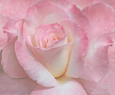 Photograph - Blushing Pink Ivory Rose Flower by Jennie Marie Schell