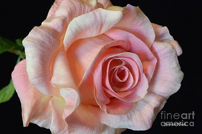 Art Print featuring the photograph Blushing Pink Rose by Jeannie Rhode