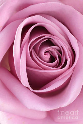 Photograph - Blushing Pink Rose by Sarah Schroder