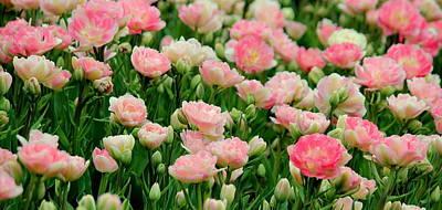 Blushing Pink Tulips Original by Rosanne Jordan